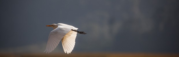 Wildlife, white crane, Nepal, Photography